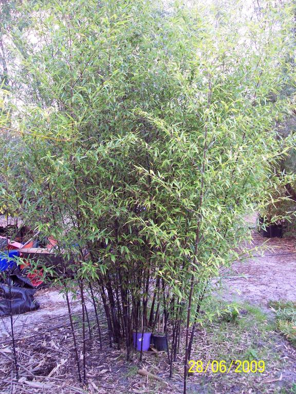 Black Bamboo (Phyllostachys nigra) - not much spread after 3 years. Most canes have grown within a 1.5m diameter patch
