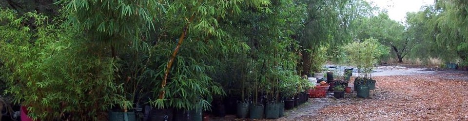 cropped-clumping-species-including-giant-buddhas-belly-bamboo.jpg