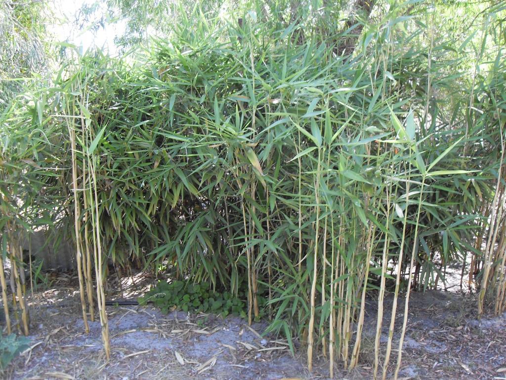 green onion bamboo pseudosasa japonica 39 tsutsumiana. Black Bedroom Furniture Sets. Home Design Ideas