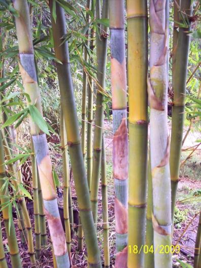 Oldham's Bamboo (Bambusa oldhamii) displaying its often colourful culms