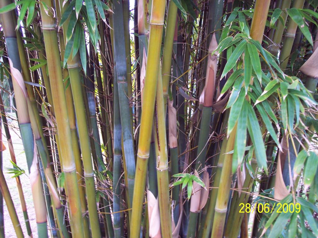 Weavers Bamboo culms