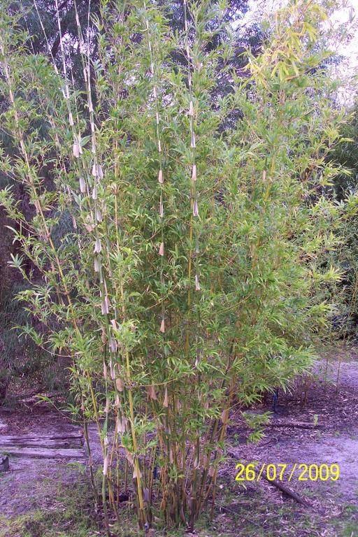 White Stripe Bamboo (Bambusa textilis 'Albostriata')
